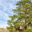 Lonely pine tree — Stock Photo #43967437