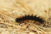Fox nachtvlinder caterpillar — Stockfoto