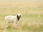 Sheep in a meadow — Stock Photo
