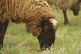 Sheeps in a meadow — Stock Photo