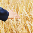 The person examines a crop wheat in a field — Stock Photo #43972925