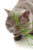 Beautiful grey cat — Стоковое фото