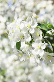 Branch blossoming apple-tree — Stock Photo