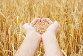 Grain of the wheat in hands — Stock Photo
