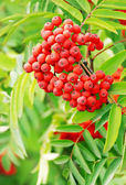 Branch of a ripe red guelder-rose — Stock Photo