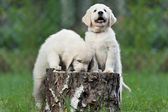 Puppies on stump — Foto de Stock