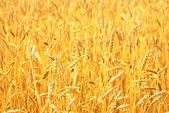 Cultivo de trigo — Foto de Stock
