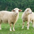 Sheeps in a meadow — Stock Photo #43983107