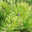 Young Green Pine Branches — Stock Photo #43983395