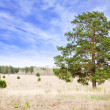 Lonely pine tree — Stock Photo #43984105
