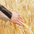 The person examines a crop wheat in a field — Stock Photo #43987507