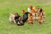 Rooster and chickens graze — Stock Photo