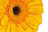 Gerbera blomma — Stock fotografie