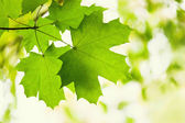Green leaves of a maple — Stock Photo