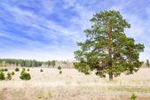 Lonely pine tree — Stock Photo