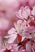 Flowers of barberry — Stock Photo