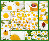 Collage with camomiles — Stock Photo