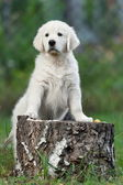 Puppy on stump — Foto de Stock