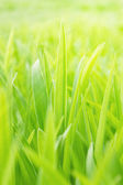 Young green grass — Stock Photo
