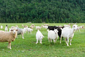 Sheeps and goats — Stock Photo