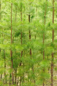 Young pines — Stock Photo