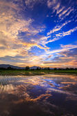 Young rice field with mountain sunset background — Stock Photo