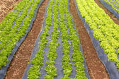 Curved organic vegetable field — Stockfoto