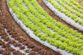 Curved organic vegetable field — Stock Photo