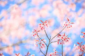 Beautiful cherry blossom — Stock Photo