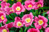 Beautiful colorful tulips in garden — Zdjęcie stockowe