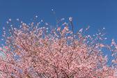 Flor de cerejeira lindo céu azul — Foto Stock