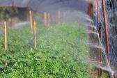 Organic plat being watered  — Stock Photo