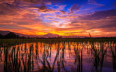 Young rice field against reflected sunset sky  — Stock Photo
