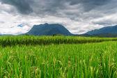 Rice field under cloudy sky — Stock Photo