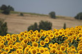 Field of flowerings sunflowers — Stock Photo