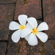 plumeria — Stock Photo #38834135
