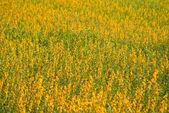Yellow flower field view — Stock fotografie