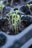 Germination germination tray — Stock Photo