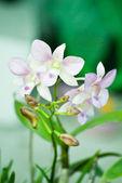 Pembe orkide — Stok fotoğraf