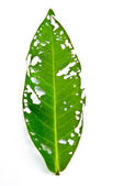 Leaf eating insect — Stock Photo