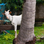 Goat Hide and Seek — Stok fotoğraf