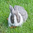 Fluffy rabbit eating carrot on grass — Stock Photo