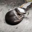 Stock Photo: Otters sleep