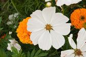 Weiße Blumen — Stockfoto