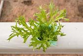 Cabbage — Zdjęcie stockowe