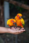 Parrots eat meals — Stock Photo