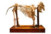 Sloní kost — Stock fotografie