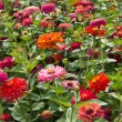 Colorful flowers — Stock Photo #40996385