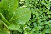 Mint salad — Stock Photo