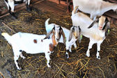 Herd of pet goats on farm.  — Stock Photo